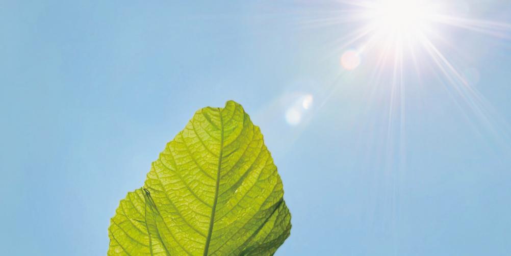 日差しを浴びる葉っぱの画像